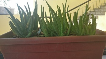 Aloe Vera growing inside the cafe